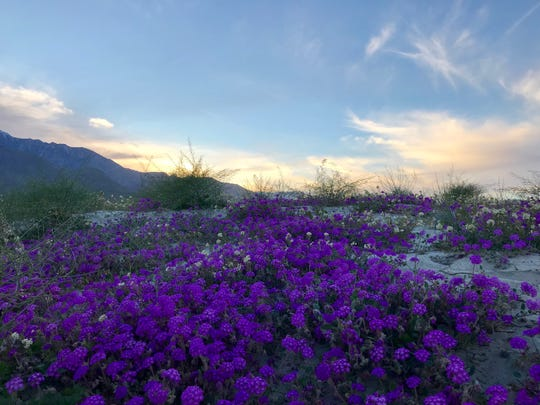 There's a patch of purple flowers in a sandy lot where East Tachevah Drive meets North Farrell Drive in Palm Springs.