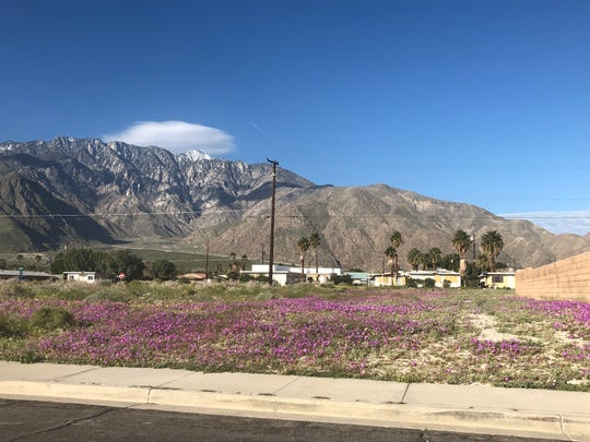 A riot of yellow and purple wildflowers can be found in Palm Springs on North Indian Canyon between Tramview Road and Rosa Parks Road near the La Luz Del Mundo Church.