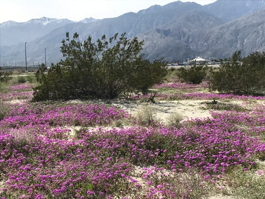 There are bowers of purple flowers blooming on the east side of N. Gene Autry Trail across from the Palm Springs International Airport, south of Escena's Clubhouse View Drive and on either side of District Circle Drive.