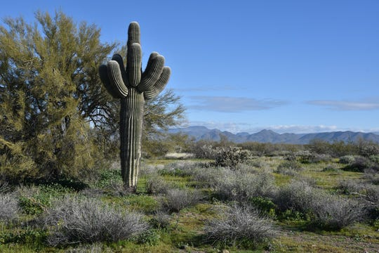 A healthy saguaro on Badger Brawl Trail.