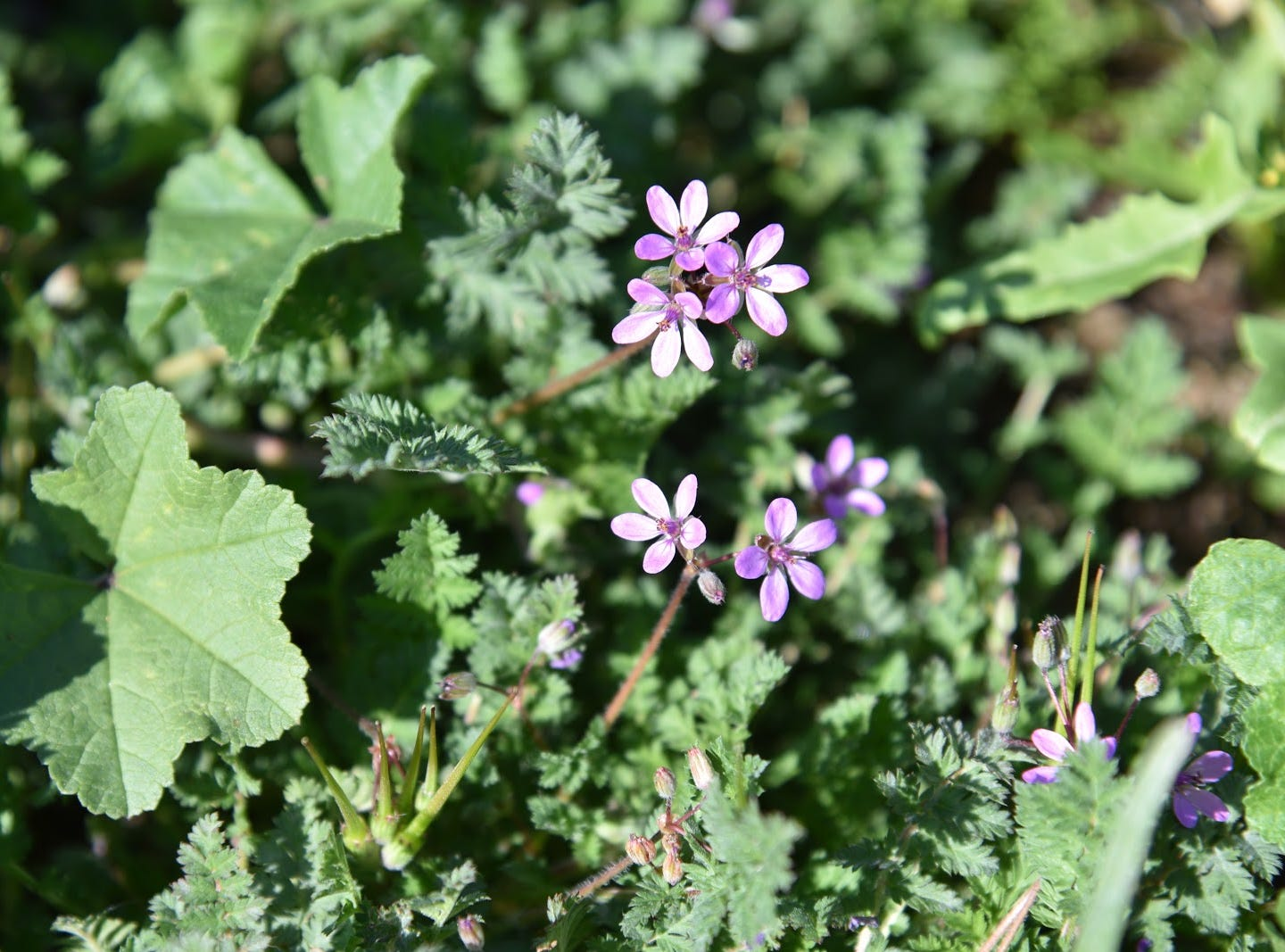 Filaree, or Stork's Bill, grows along the trails.