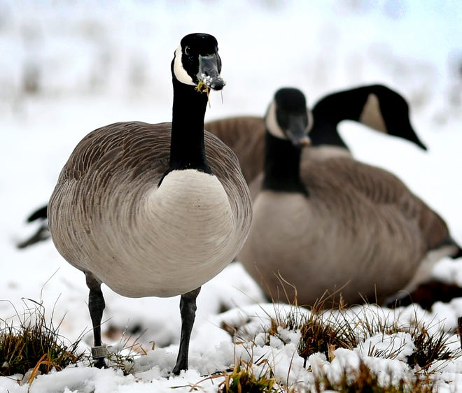 Canada geese, some banded for research, foreground, forage at Middle Creek Wildlife Management Area during the snow goose migration Friday, March 1, 2019. During late winter, tens of thousands of snow geese occupy the area daily. Species of swans, geese and ducks are prevalent during the migration. Bill Kalina photo