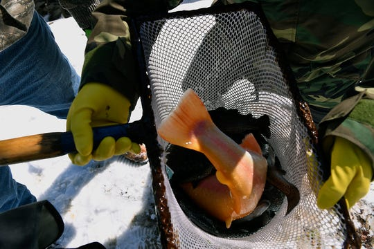 The tail of an extremely large golden rainbow trout sticks out of a net as its loaded into a float stocking container on Bald Eagle Creek, Tuesday, March 5, 2019.  Volunteers from local sportsman's groups helped the Fish Commission with the stocking. John A. Pavoncello photo