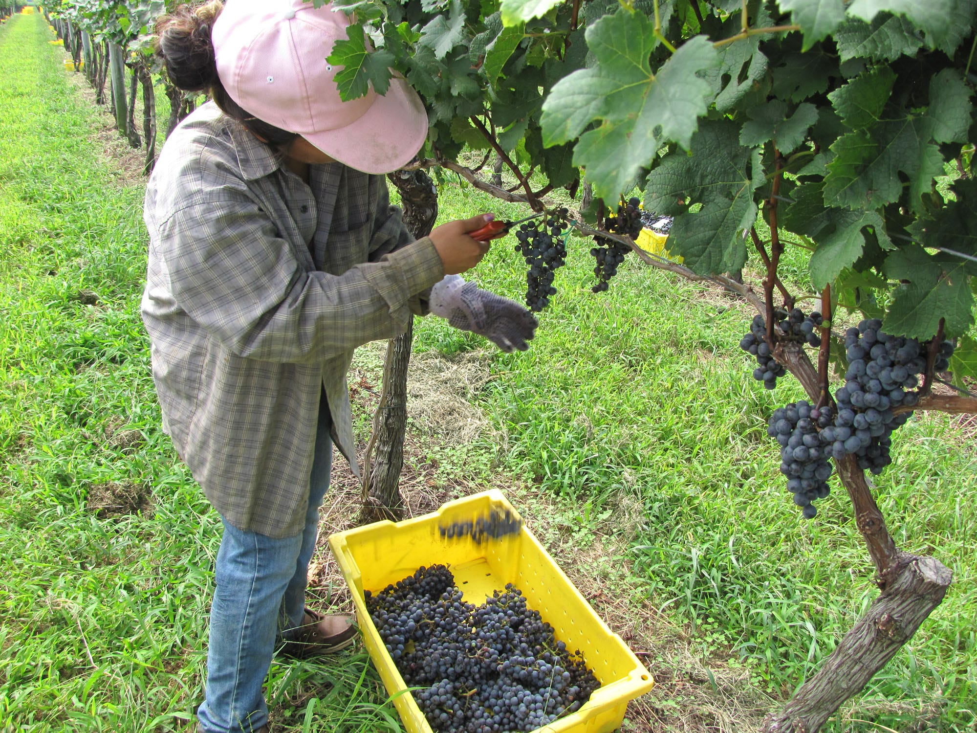 A worker harvests grapes at Chatham Vineyards on the Virginia's Eastern Shore. In November, the winery hosts oyster and wine pairings.
