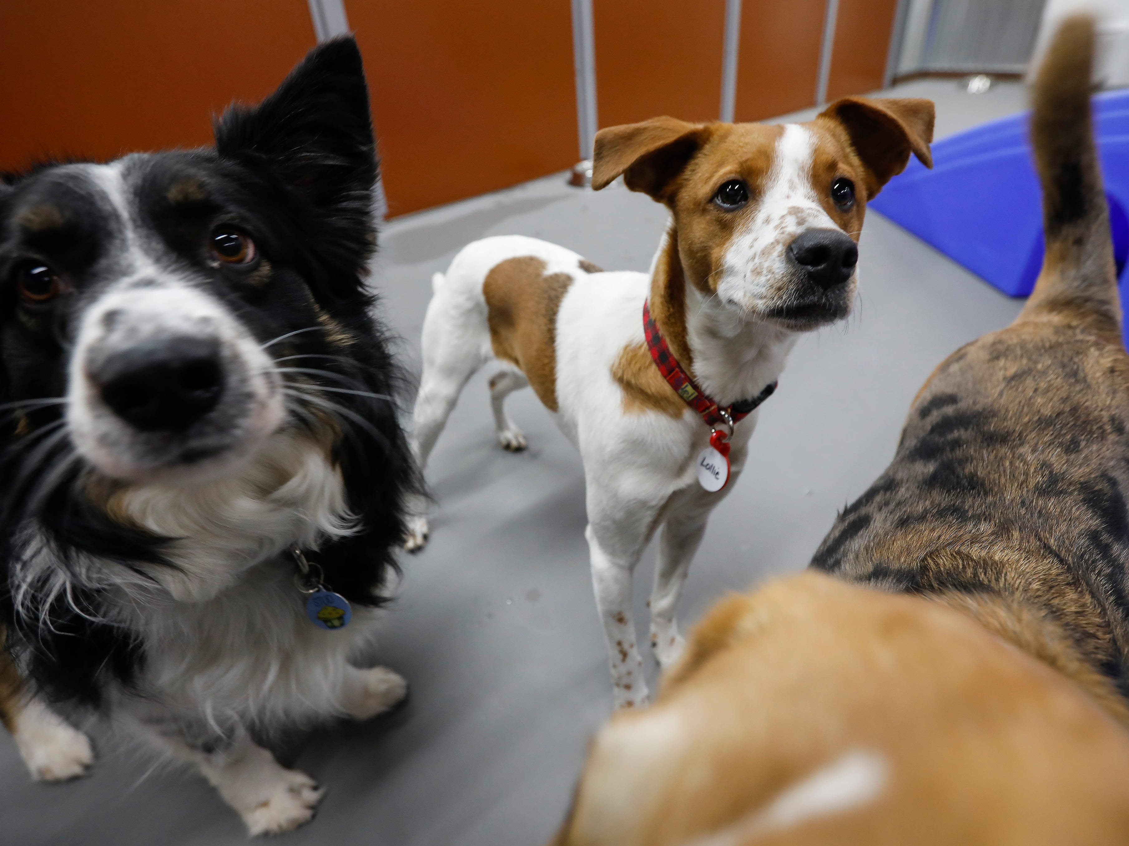 Hollie and other dogs socialize in the play area at the new Camp Bow Wow located at 2814 S. Fremont Ave., Suite 104.