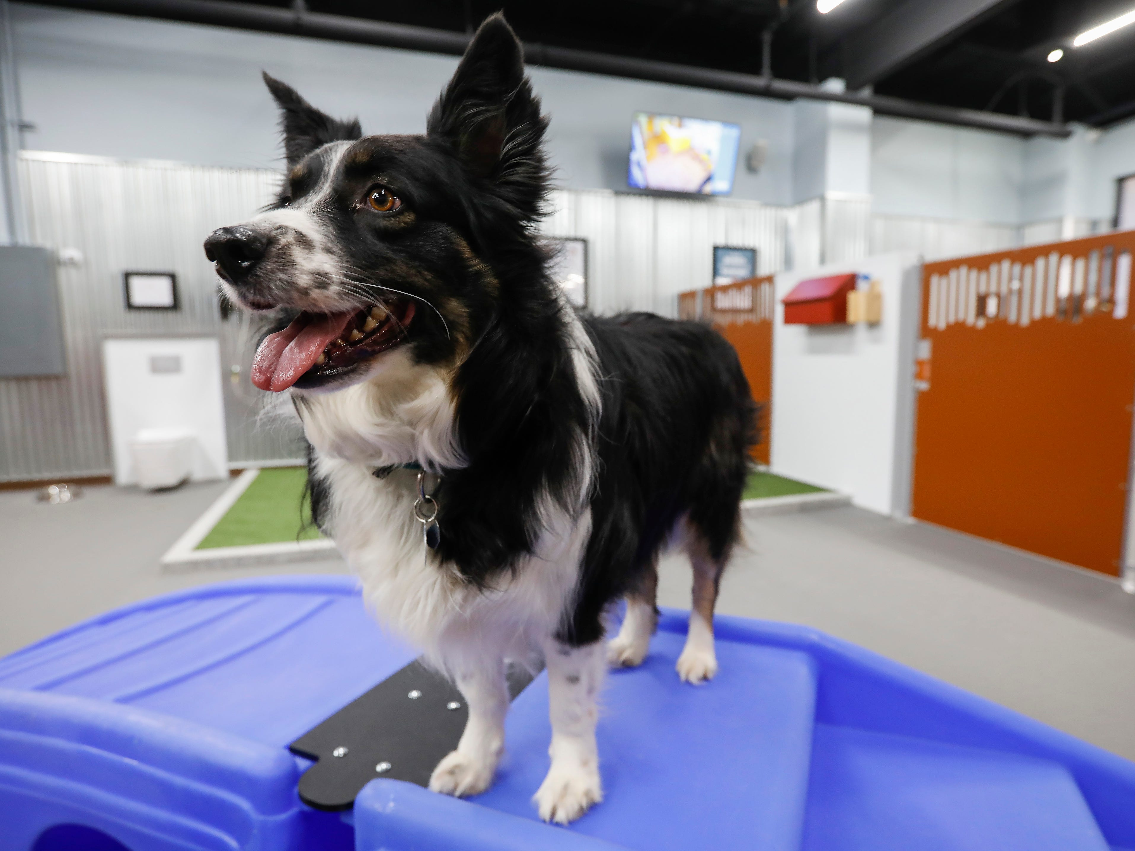 A dog looks around the play area for larger dogs at the new Camp Bow Wow located at 2814 S. Fremont Ave., Suite 104.