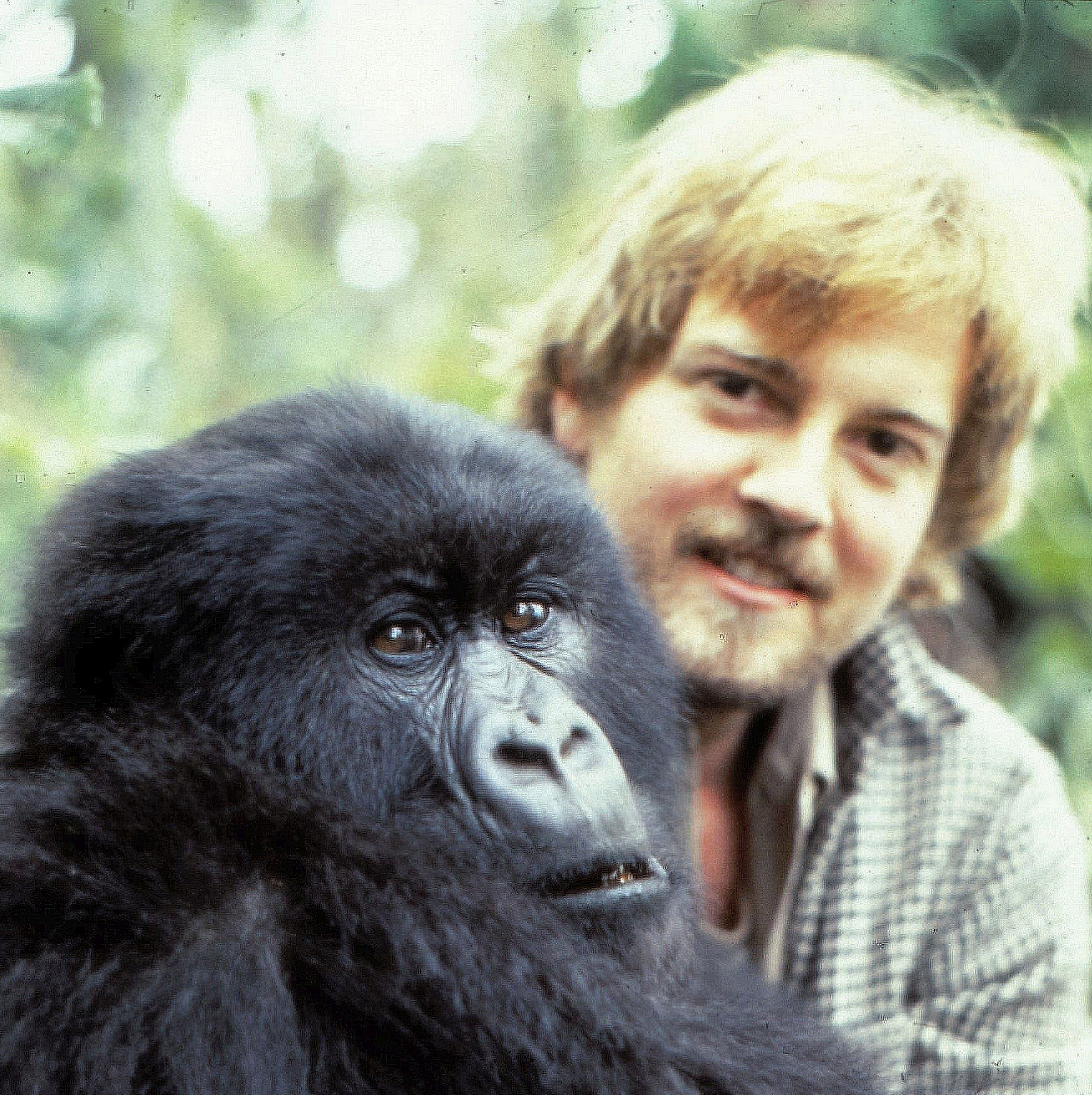 Tallahassee author gives personal account of work with Dian Fossey — and it's shocking