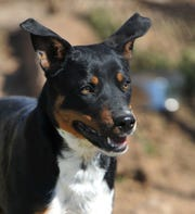 Bogart is a 1-year-old, black and tan, American Blue Heeler/mix that is looking for his forever home. He is good with kids and other dogs, cats are questionable. He is neutered and ready to go. You can find Bogart and his friends at the Humane Society of Wichita County.