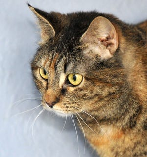 Sheeba is a female, Domestic Shorthair/mix that is looking for her forever home. She is good with kids and other cats, dogs are questionable. She is spayed and ready to go. You can find Sheeba and her friends at the Humane Society of Wichita County.