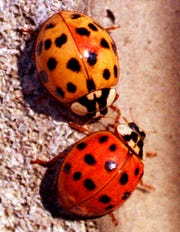 Insects like these Asian ladybugs have several survival strategies to escape death during the coldest months of winter.