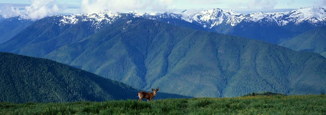 A deer stops to survey the landscape near Hurricane Ridge in Olympic National Park.