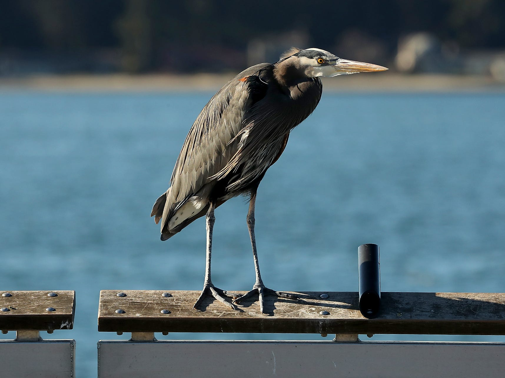 A great blue heron perches on the railing of the Waterman Pier in Port Orchard on Tuesday, March 5, 2019.