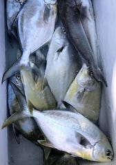 A limit of pompano recently caught by customers of Tradewinds Surf Fishing with Caleb Couture of Palm Bay.
