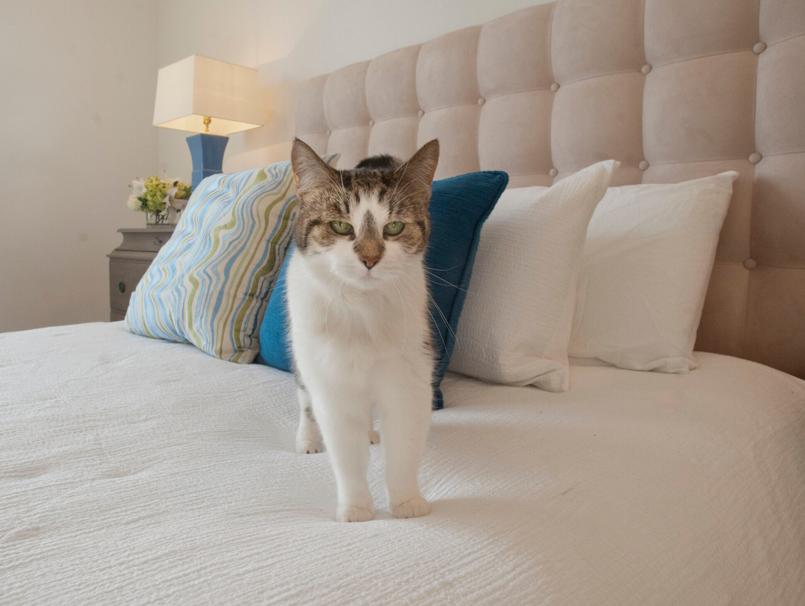 Olive the cat in the master bedroom of Denise Puthuff's condominium. 19 February 2019