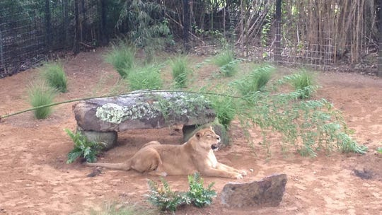 Basha the lioness at Louisiana Purchase Gardens & Zoo has died at age 22.