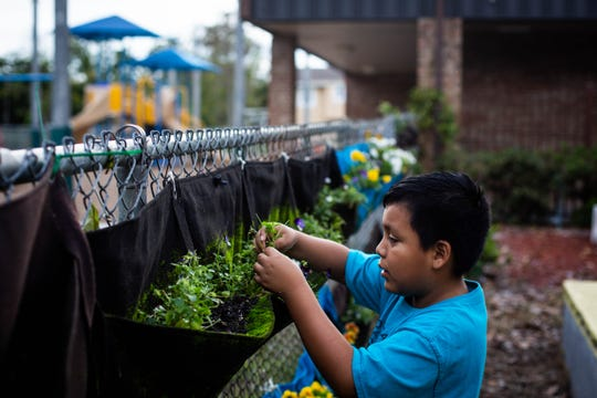 Anthony Sanchez looks at flowers growing along a fence at Avalon Elementary School on March 5, 2019. Sanchez and other students in the Global Gardens program have been making floral creations to enter in the Naples Flower Show this March.