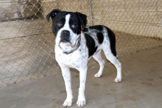 Orco is an extremely loving, sweet, 1-year-old Boxer/Heeler mix.