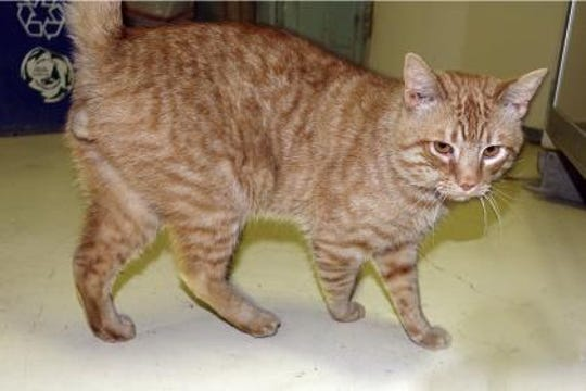 Clive is about 2 years old and is a very handsome, cuddly orange tabby.
