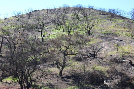 Burned Malibu slopes are becoming green again.