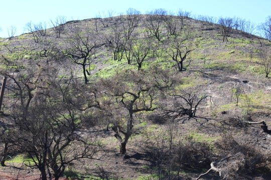 Burned Malibu slopes are becoming green again.