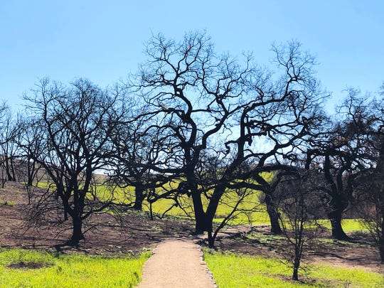 Malibu Creek State Park gets green again.