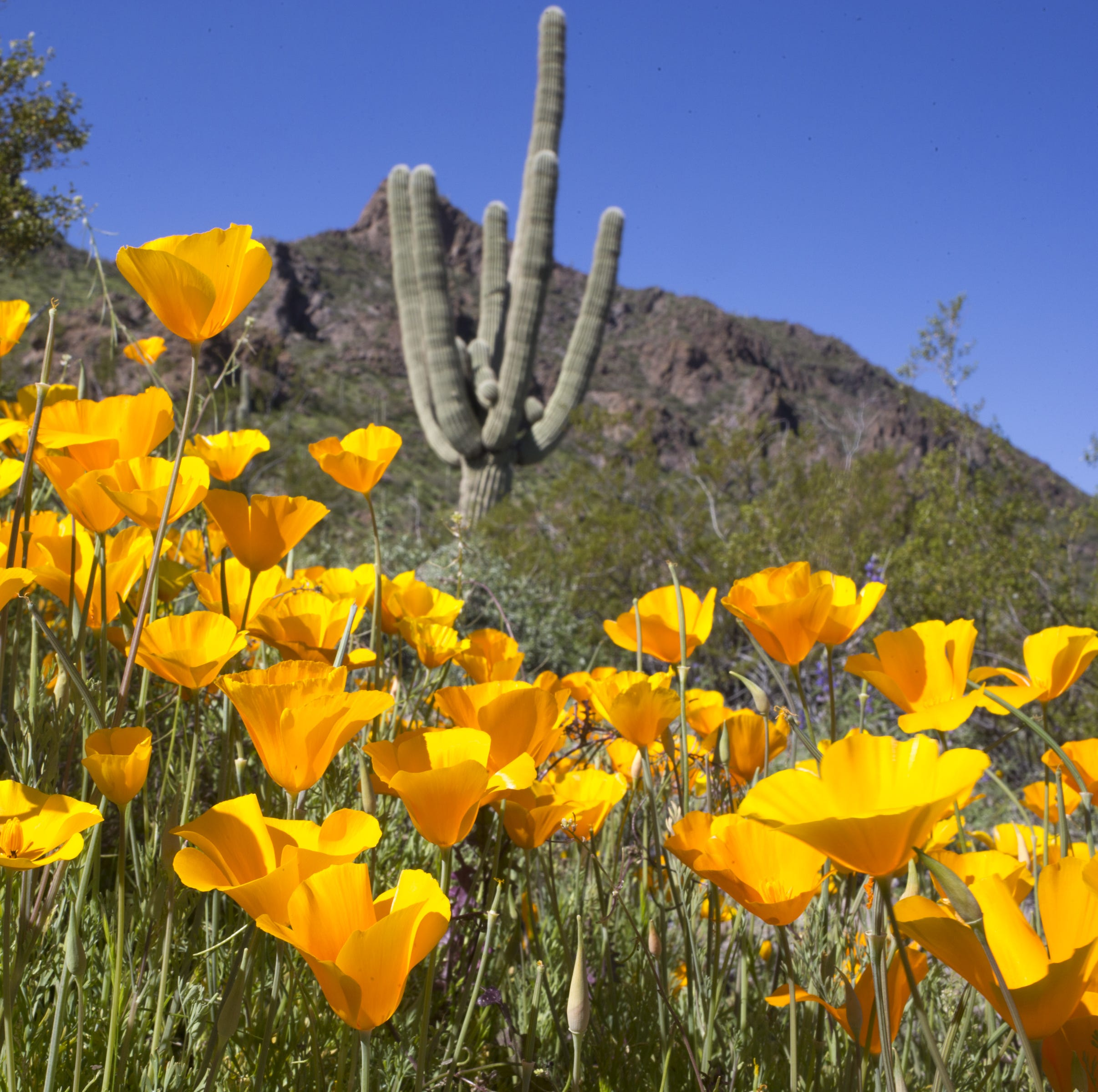 Move over, California. Here's where to see Arizona's super bloom of poppies