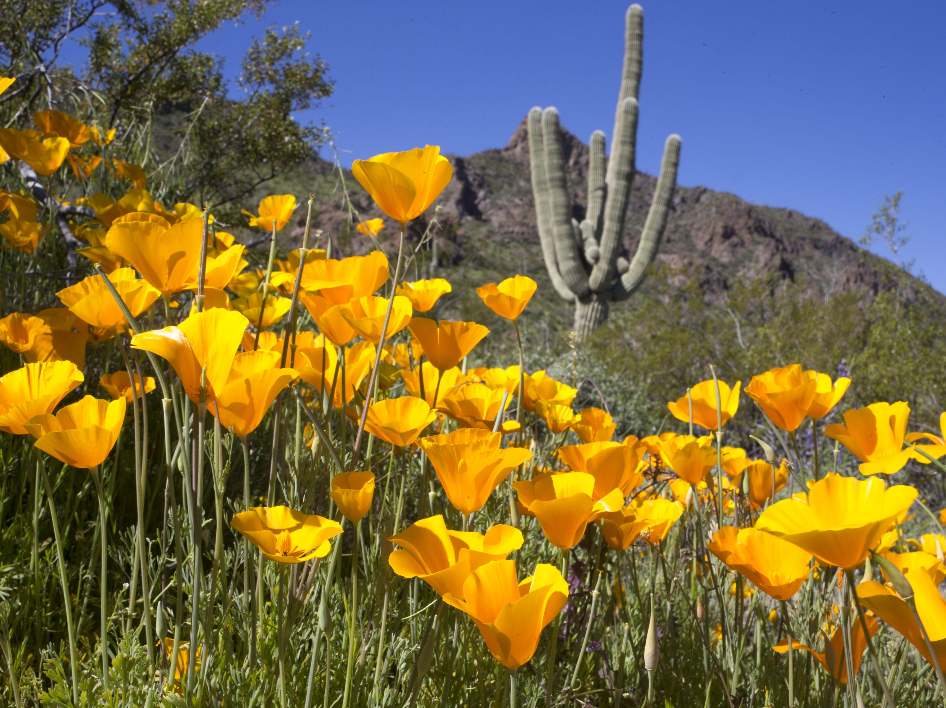 Poppies and a saguaro, March 5, 2019, at Picacho Peak State Park, Arizona.