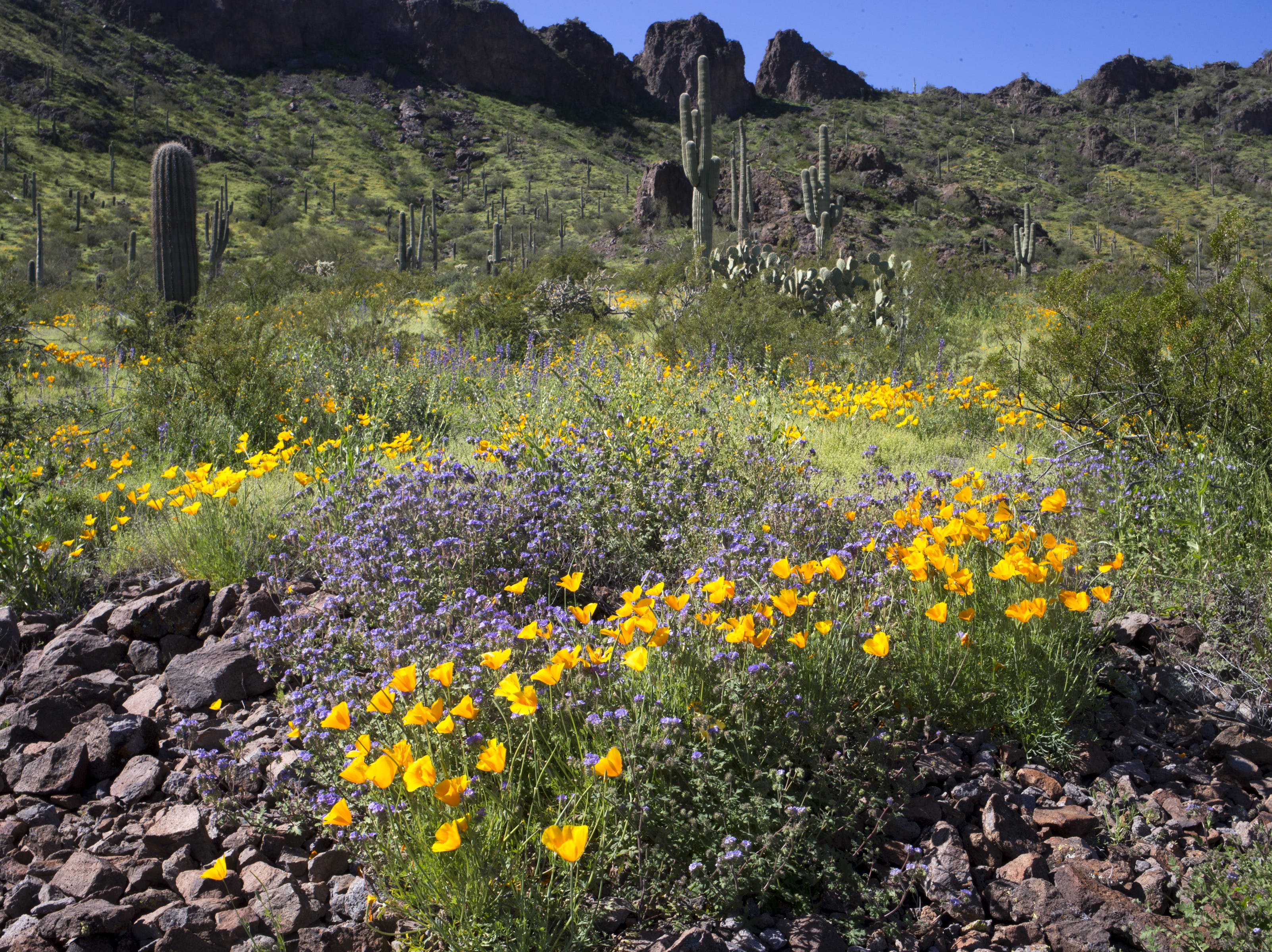 Poppies, lupine and cactus, March 5, 2019, at Picacho Peak State Park, Arizona.