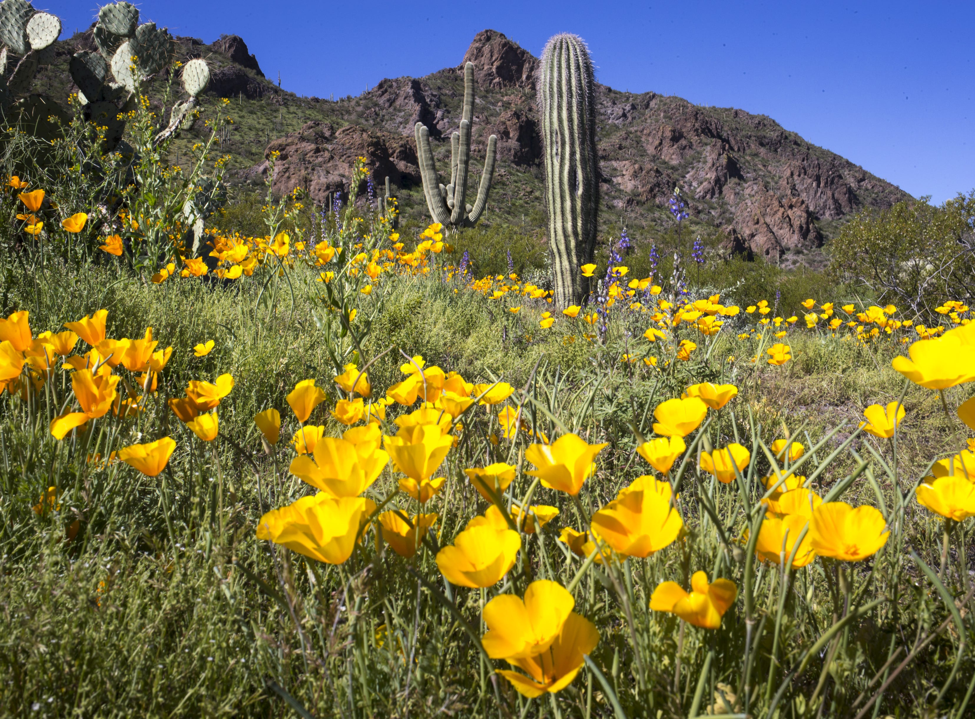 Poppies and cactus, March 5, 2019, at Picacho Peak State Park, Arizona.