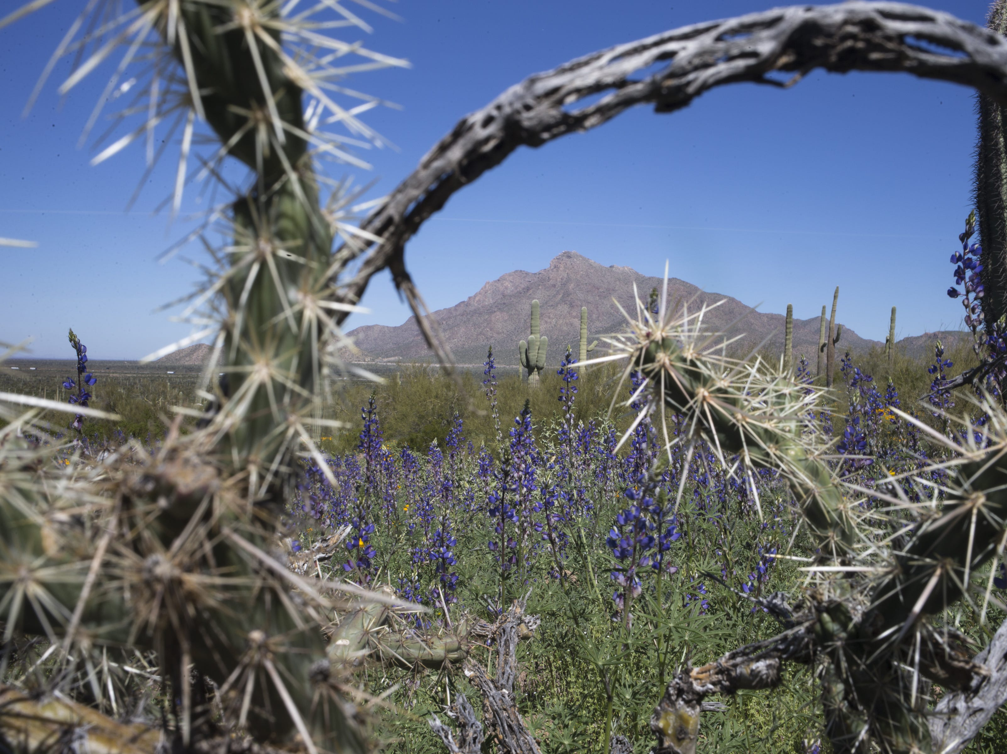 Lupine and cactus, March 5, 2019, at Picacho Peak State Park, Arizona.