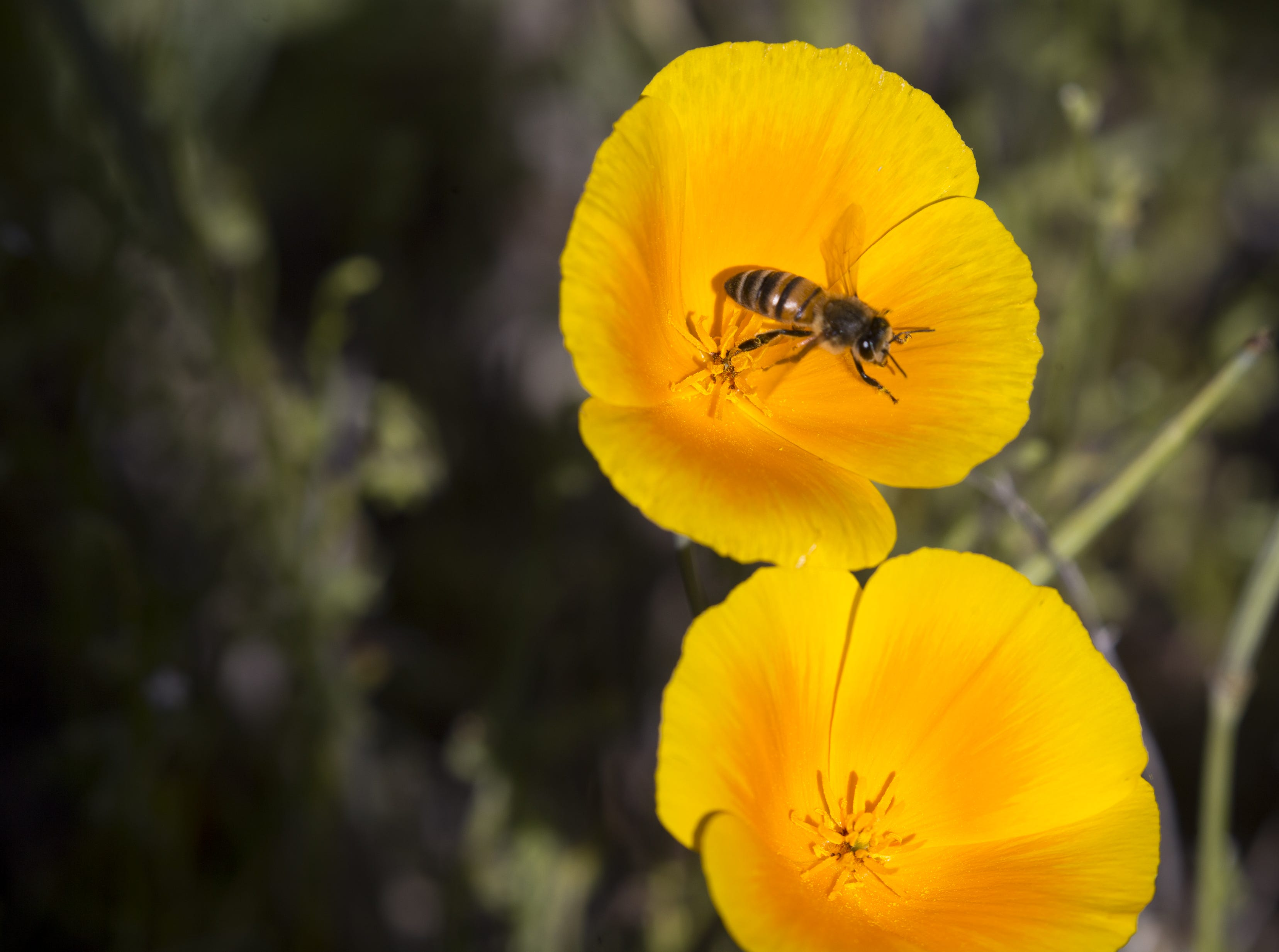 A bee on a poppy, March 5, 2019, at Picacho Peak State Park, Arizona.