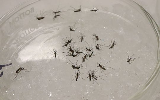 Mosquitoes are chilled in a small container while UA scientists continue their work.