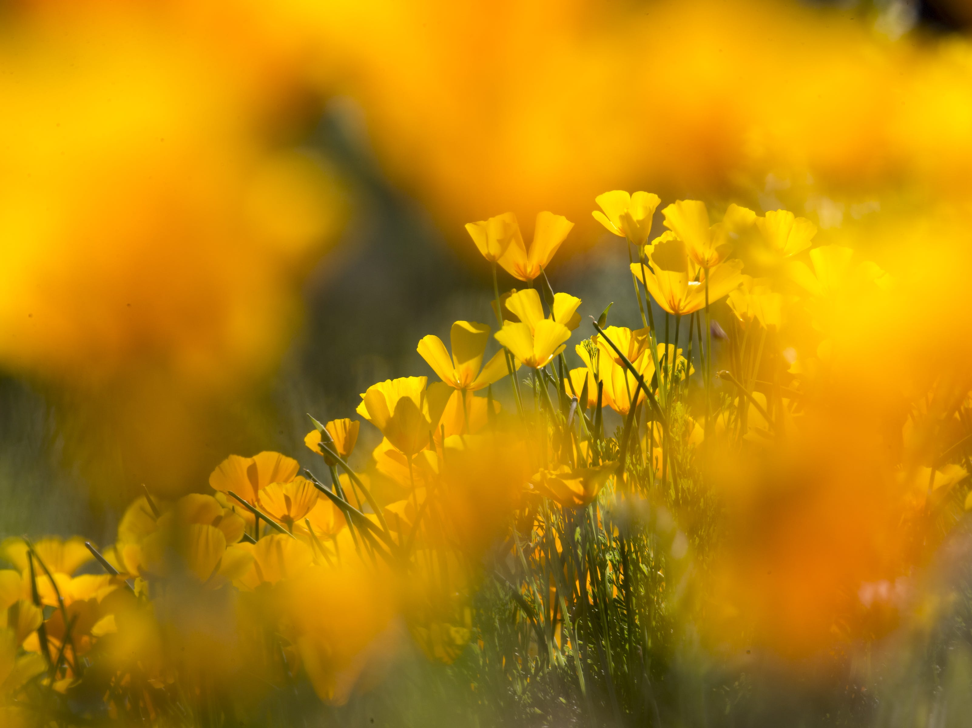Poppies are in peak bloom, March 5, 2019, at Picacho Peak State Park, Arizona.