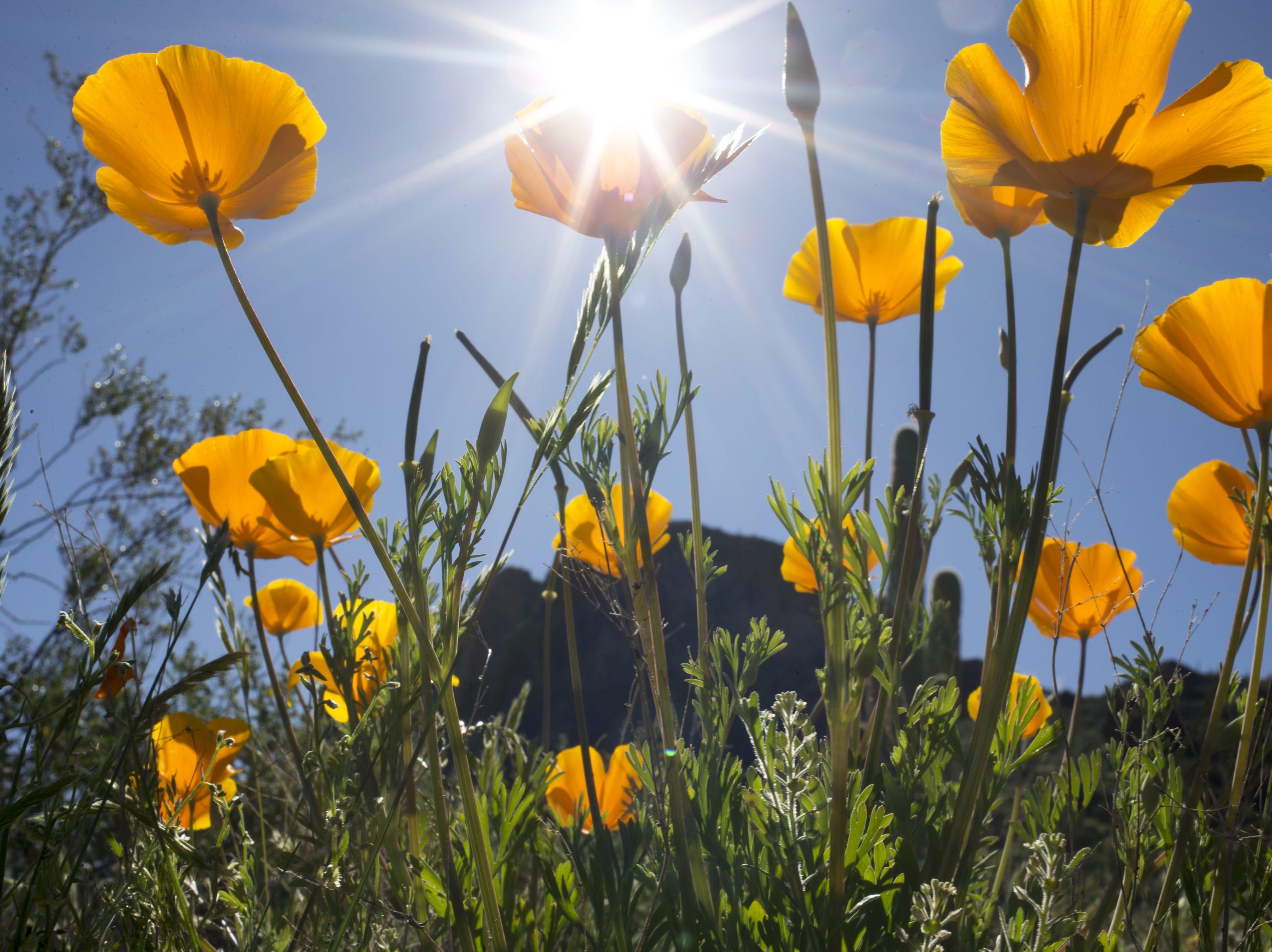 Poppies, March 5, 2019, at Picacho Peak State Park, Arizona.