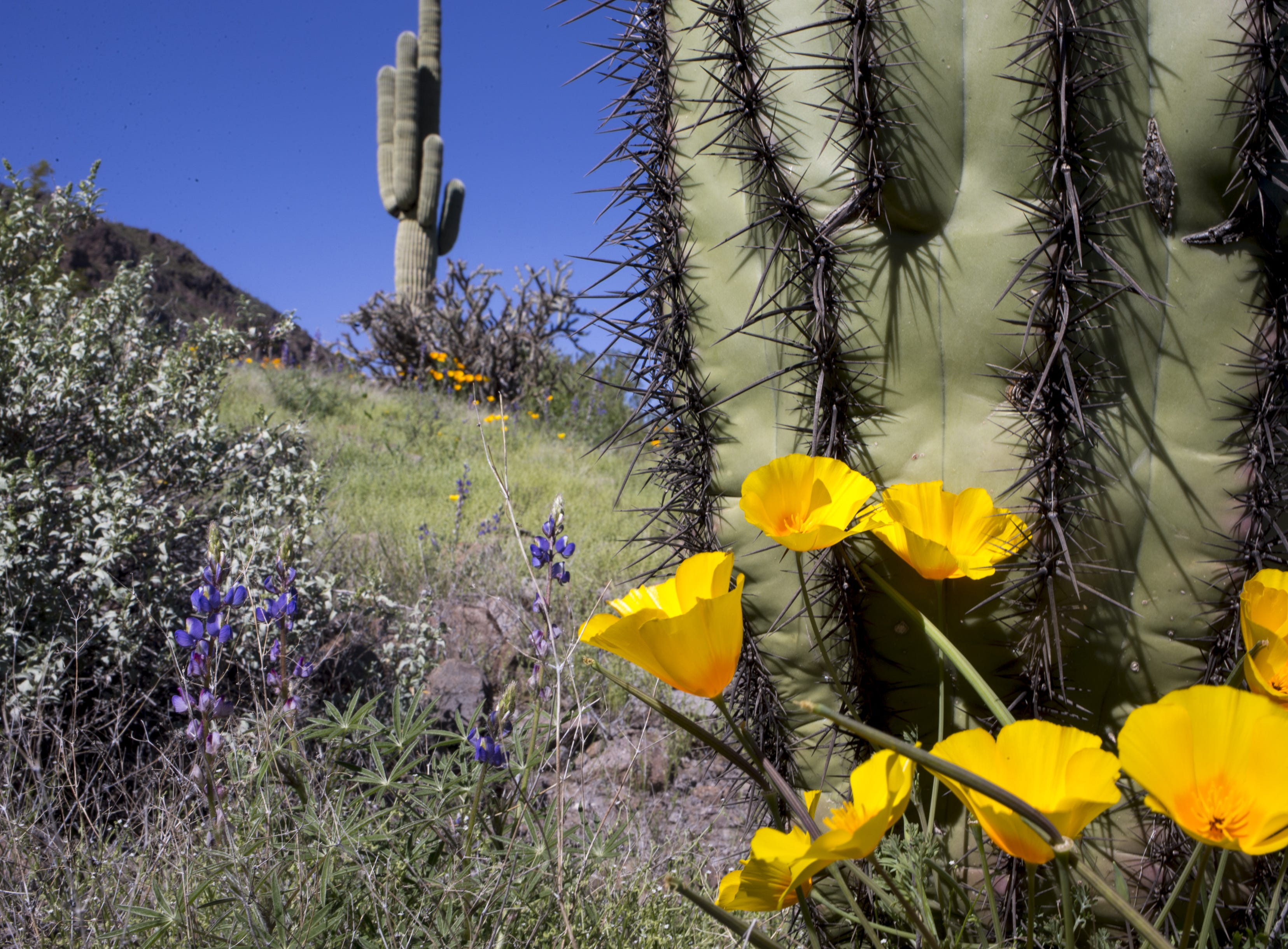 Poppies, lupine and saguaros, March 5, 2019, at Picacho Peak State Park, Arizona.