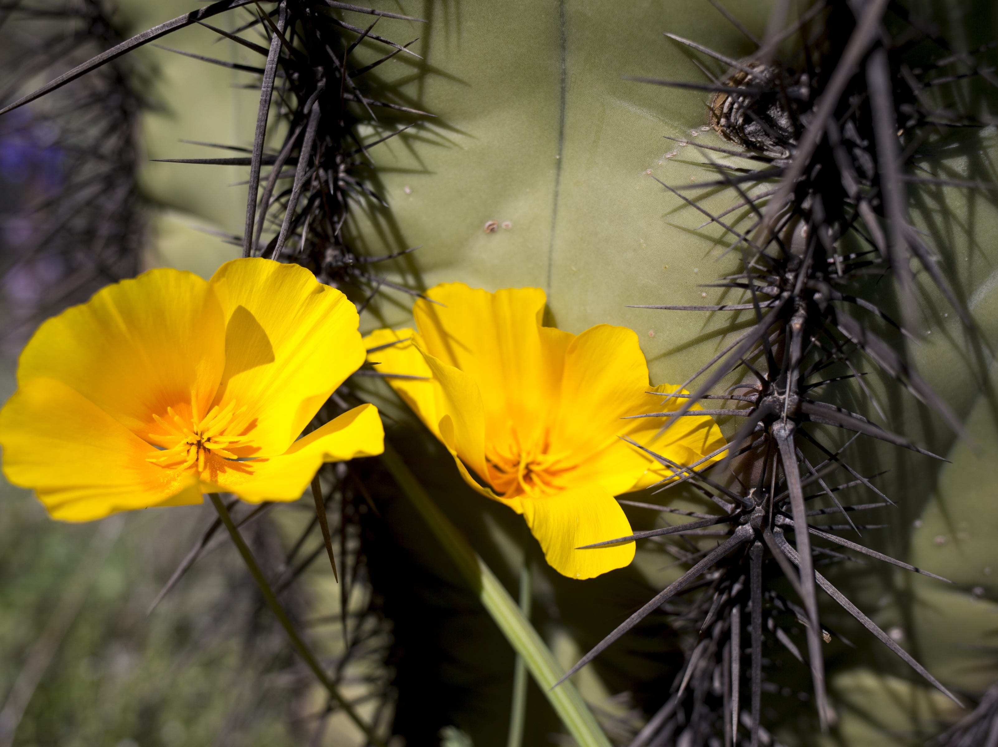 Poppies and a cactus, March 5, 2019, at Picacho Peak State Park, Arizona.