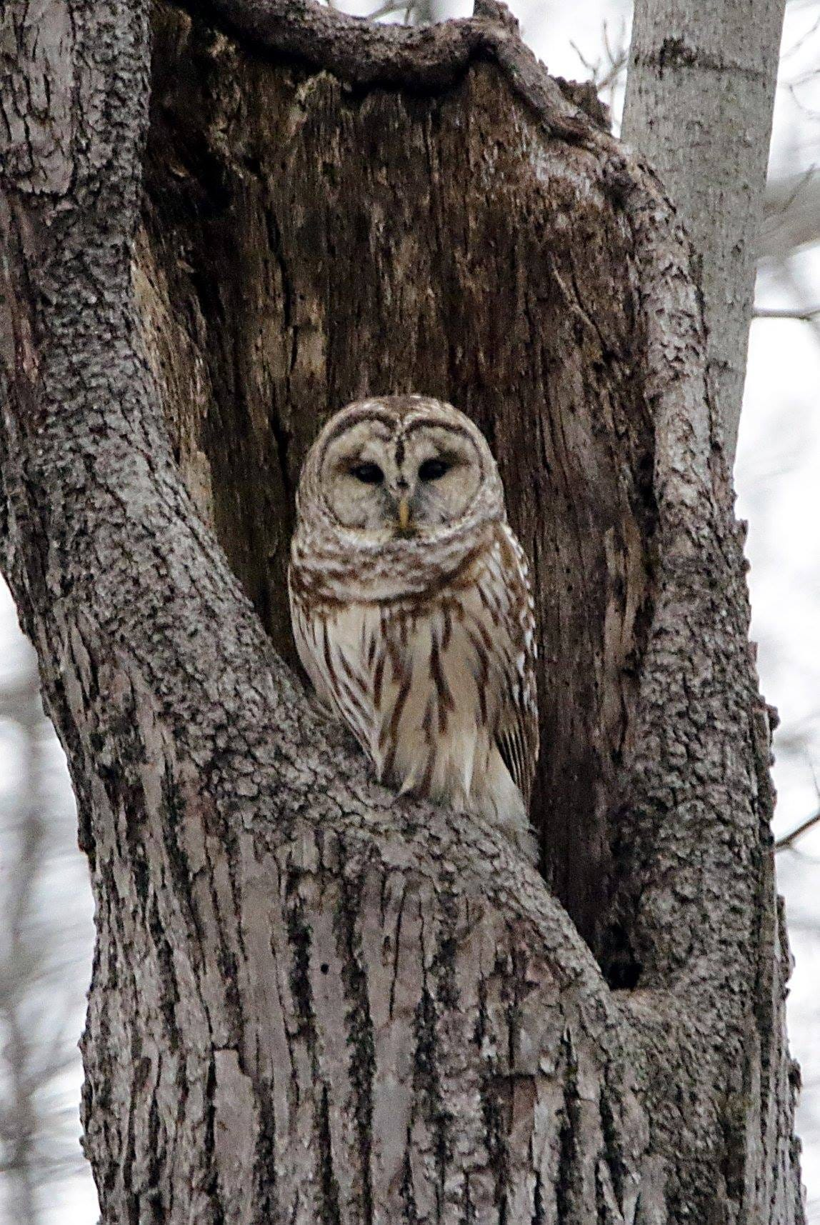 Jeff Vogelpohl captured this photo of a rare barred owl in the north woods at Ottawa National Wildlife Refuge on Sunday.