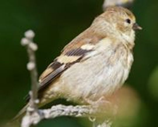 The American Goldfinch in winter plumage
