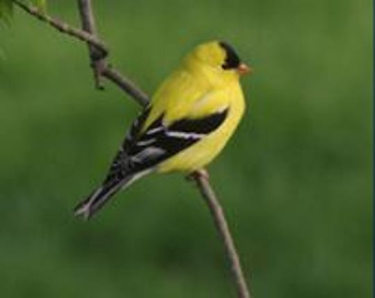 The American Goldfinch in summer plumage.