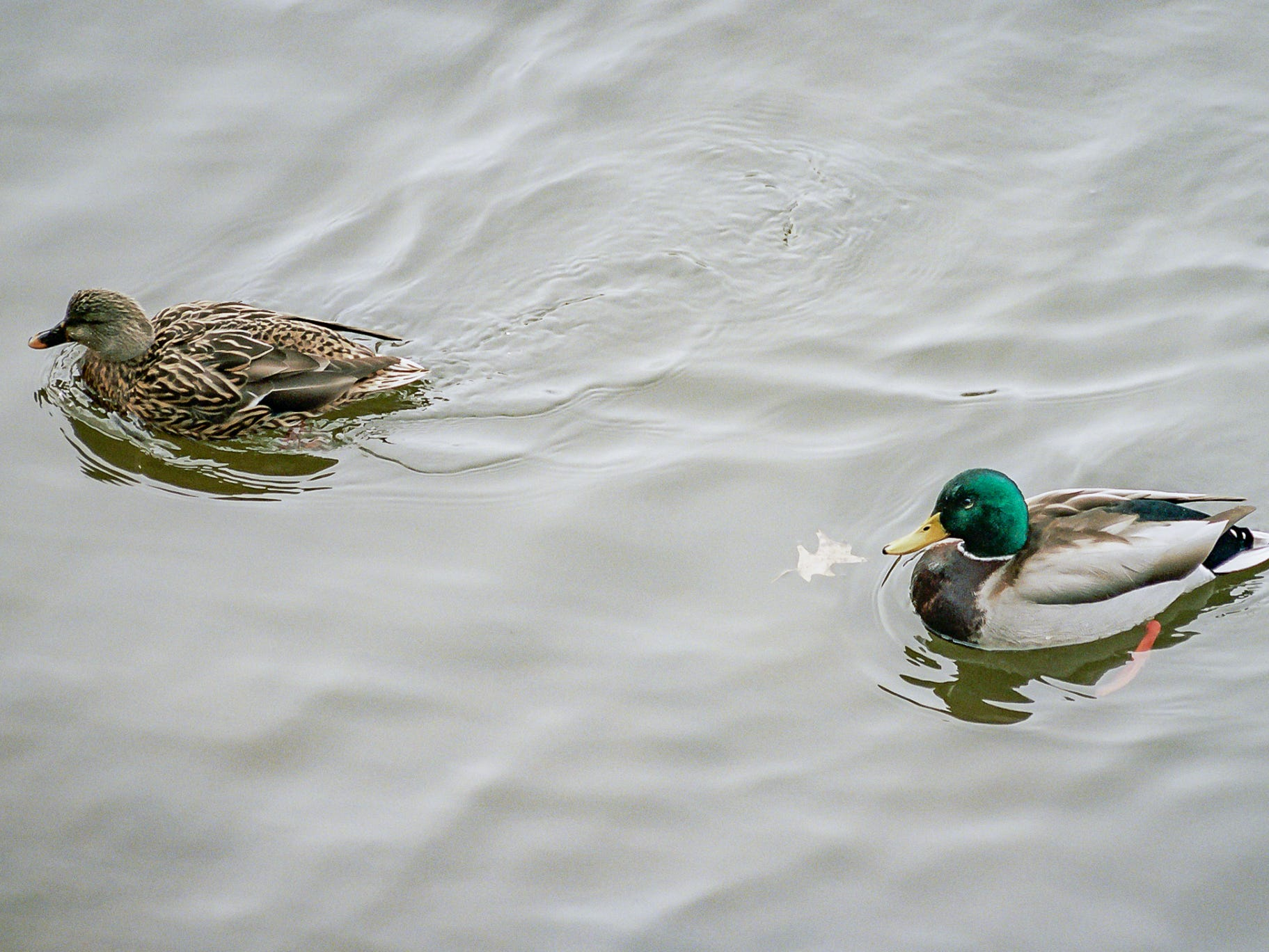 A gadwall and a mallard swimming in the Codorus Creek. [Nikon FA] [Kodak Portra 400]