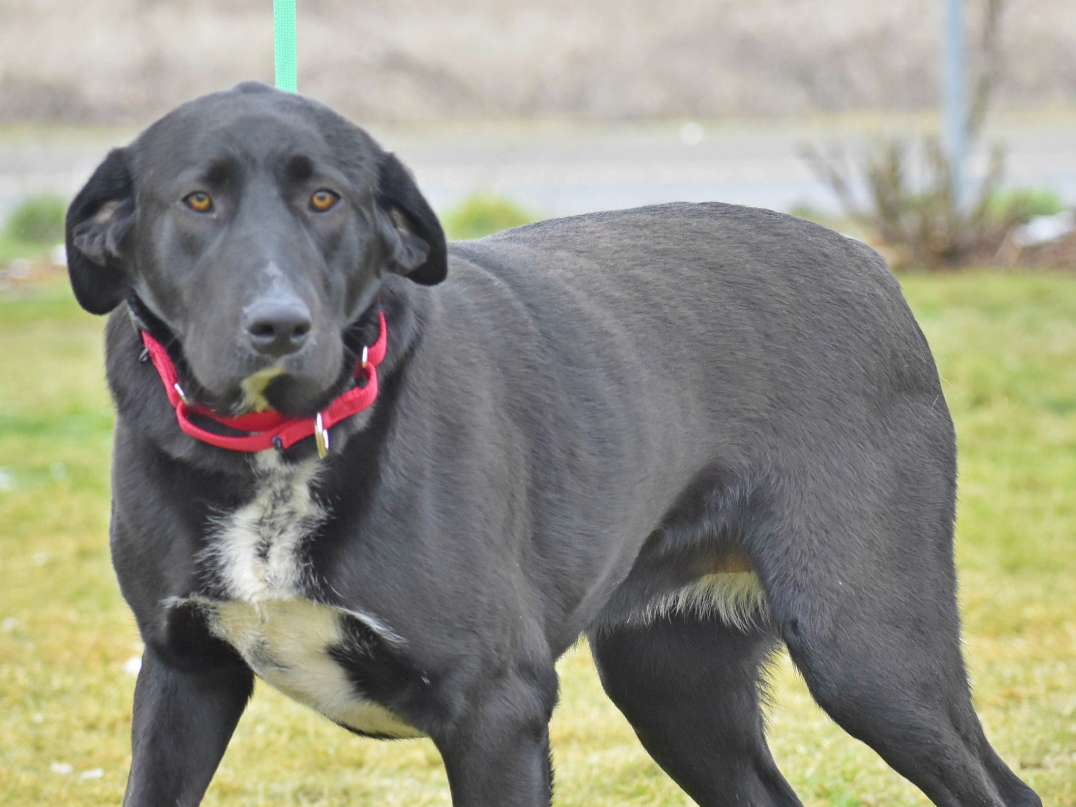 Molly is a 5-year-old female black and white Labrador Retriever mix. She is a lap dog at heart. Molly loves attention and wants nothing more than to snuggle by your side. Contact Marion County Dog Services at 503-588-5366 or go to www.MCDogs.net.