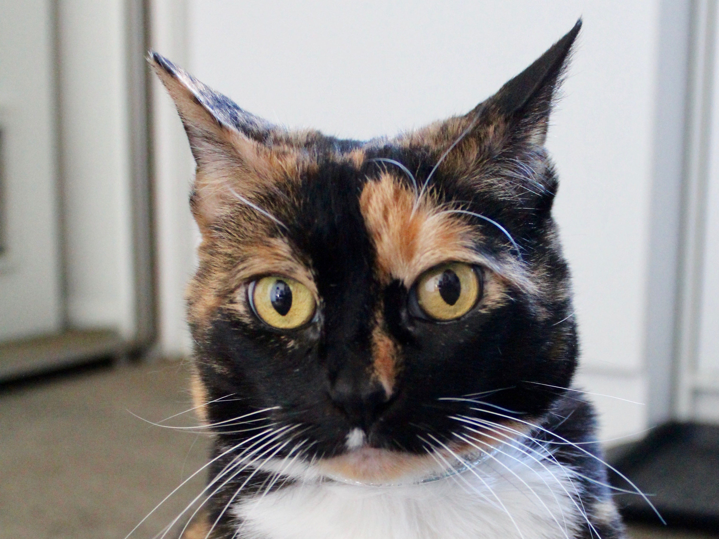 Bathilda is a 12-year-old calico cat looking for a cat-savvy person to live with. She bonds tightly to one person and is nothing but sweet to a person she considers her very best friend. Bathilda needs to be an indoor cat and would prefer to be your one and only animal. To find out more, call Willamette Humane Society at 503-585-5900 or visit www.whs4pets.org.