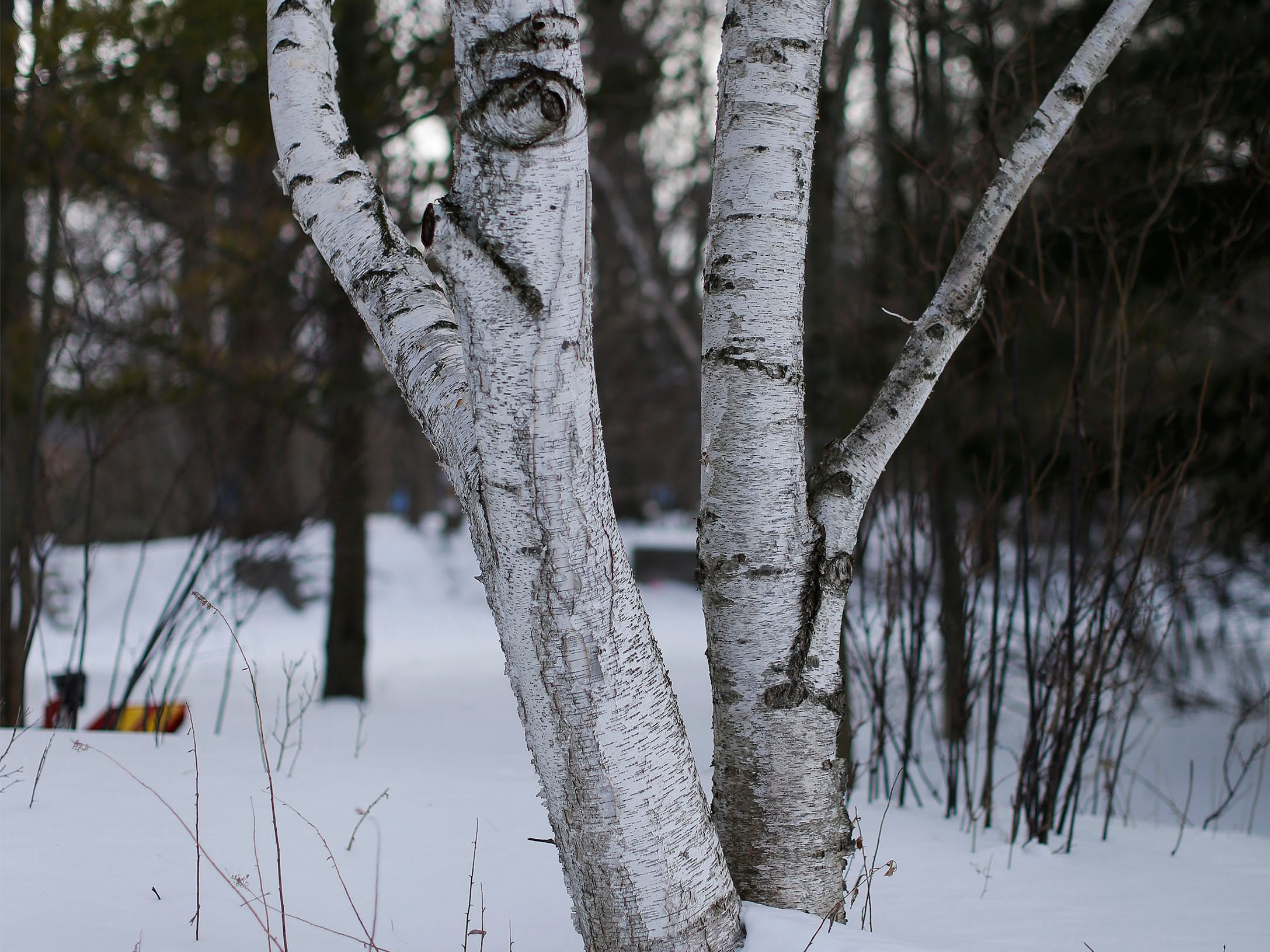 A birch tree's bark compliments the white snow at the Ellwood H. May Environmental Park, Tuesday, March 5, 2019, in Sheboygan, Wis.