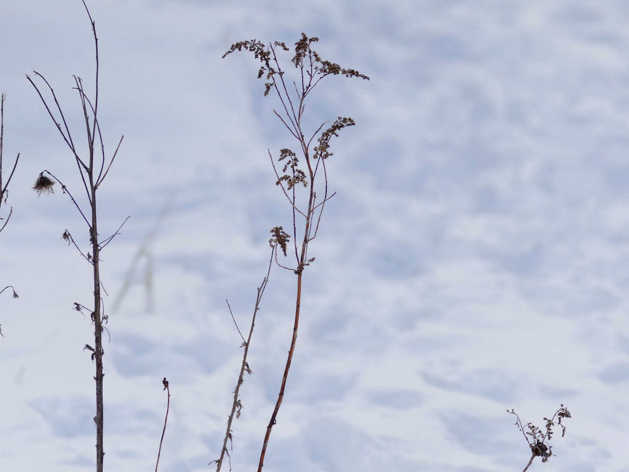 Dead plants silhouette against the white snow at Ellwood H. May Environmental Park, Tuesday, March 5, 2019, in Sheboygan, Wis.