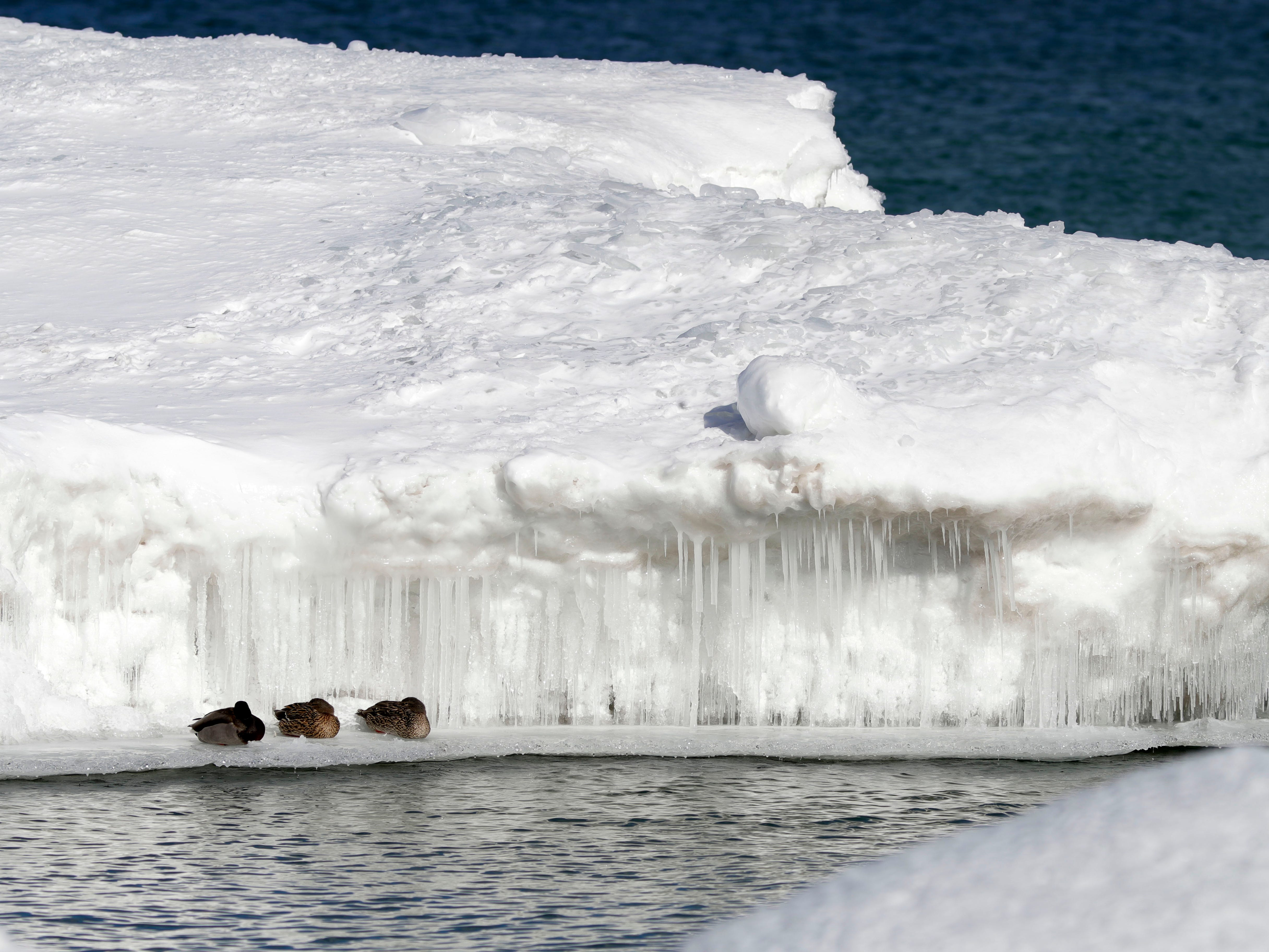 A trio of ducks rest on an icy shelf near a snow mound at Deland Park along Lake Michigan, Tuesday, March 5, 2019, in Sheboygan, Wis.