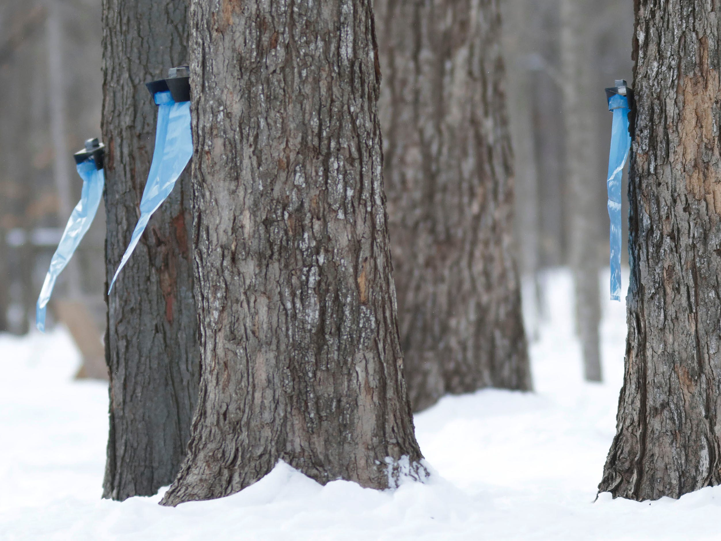 Empty maple sap bags are mounted and ready for spring's warmth to arrive at the Ellwood H. May Environmental Park, Tuesday, March 5, 2019, in Sheboygan, Wis.