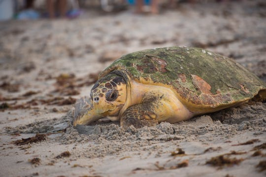 Nesting sea turtles can be easily distracted so it is important to keep beaches clear during nesting season.