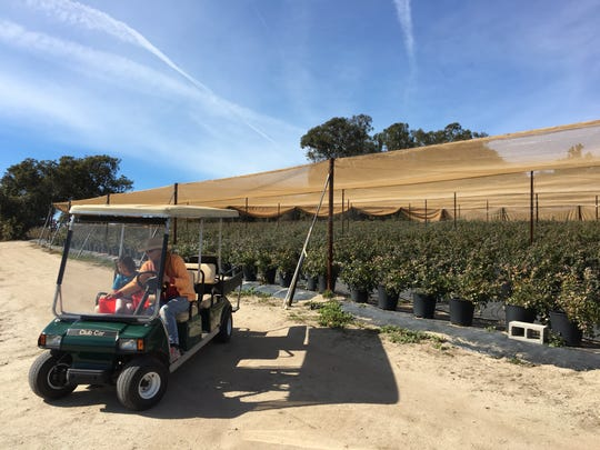 A golf cart transports U-pick visitors to the organic blueberry bushes grown in pots at One Acre Farm. The operation is located atop at hill at Gerry Ranch, which features conventionally grown blueberries for commercial and U-pick operations in the Santa Rosa Valley.