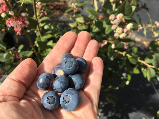 U-pick blueberries are available now through late April or early May at Gerry Ranch in the Santa Rosa Valley between Camarillo and Thousand Oaks. Open most Saturdays, the ranch and the on-site One Acre Farm offer visitors a choice between conventionally grown and organic berries, respectively. A handful of organic Snowchaser blueberries from One Acre Farm is seen here.