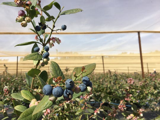 Organic blueberries of varying degrees of ripeness are seen on bushes growing under shade cloth at One Acre Farm, a U-pick spot in the Santa Rosa Valley between Camarillo and Thousand Oaks. The farm is located on Gerry Ranch, which offers conventionally grown blueberries for U-picking.